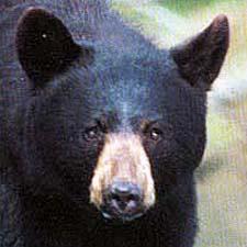 black_bear_00