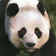 giant_panda_bear_00