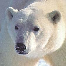 polar_bear_00
