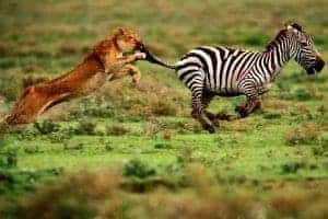 zebra-and-lion