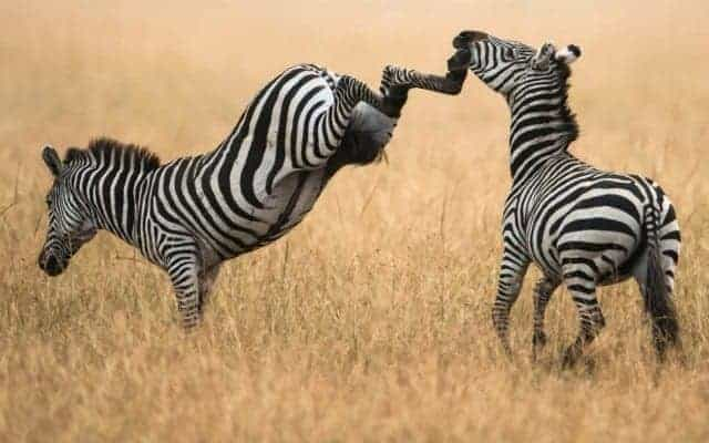 zebra-uppercut-zebras-savanna-grass