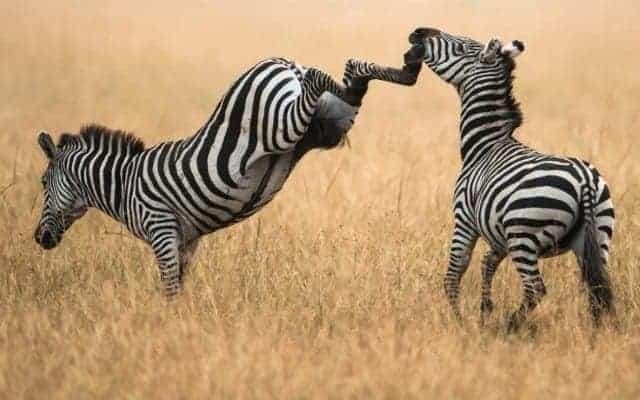 zebra-uppercut-zebras-savanna-grass